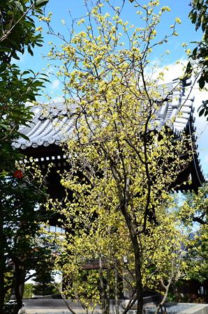 鐘楼脇の土佐水木(トサミズキ)