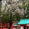 写真: 渓仙桜