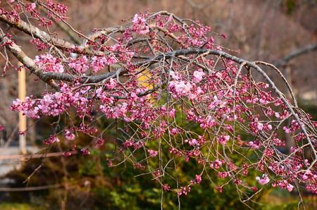 咲き始めた枝垂れ桜