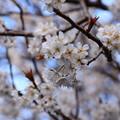 写真: 唐実桜(カラミザクラ)