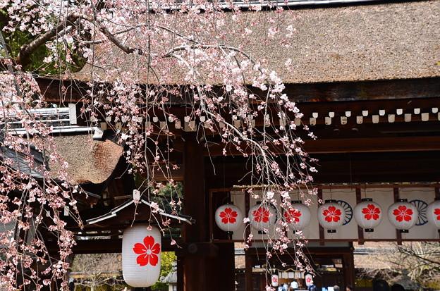 写真: 平野神社の春