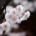 写真: 熊谷桜(クマガイザクラ)