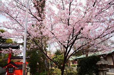 車折神社の桜 2