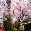 写真: 車折神社の桜 2