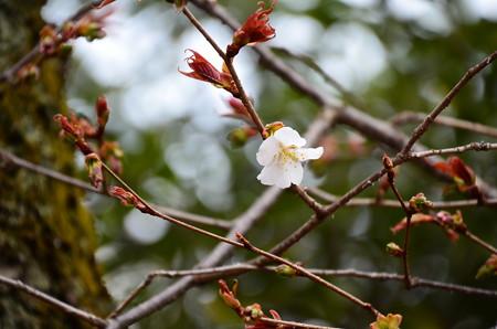 妙見宮前の山桜(ヤマザクラ)