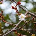 写真: 妙見宮前の山桜(ヤマザクラ)