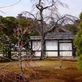 枝垂れ桜の前の梅