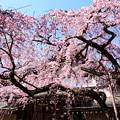 写真: 春の空を被う枝垂れ桜