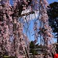 写真: 氷室神社の枝垂れ桜