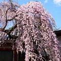 写真: 桜色の流れ