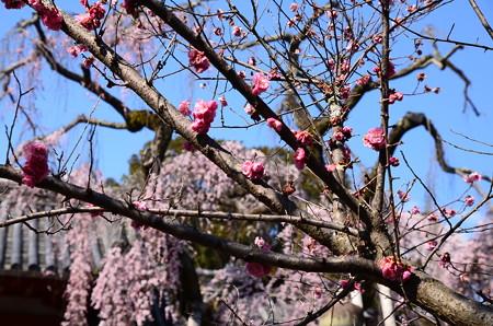 枝垂れ桜の前の紅梅