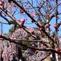 写真: 枝垂れ桜の前の紅梅