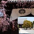 写真: 妙覚寺の枝垂れ桜