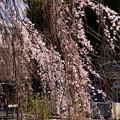写真: 阿亀桜(オカメザクラ)