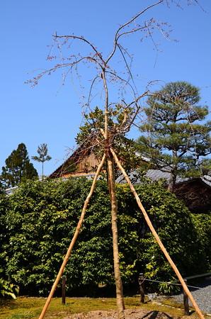 八重紅枝垂れ(ヤエベニシダレ)