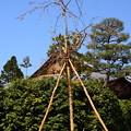写真: 八重紅枝垂れ(ヤエベニシダレ)