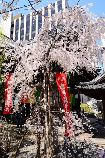 写真: 六角堂の桜風景