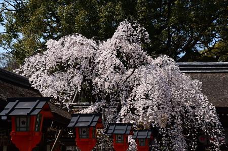 満開の魁桜