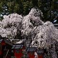 写真: 満開の魁桜