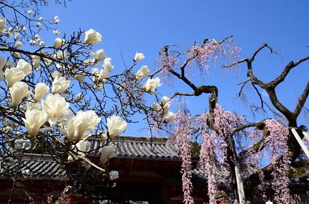 白木蓮と枝垂れ桜