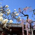 写真: 白木蓮と枝垂れ桜