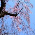 写真: 祇園御祖(ギオンミオヤ)