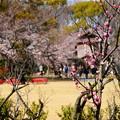 写真: 梅と桜の競演~