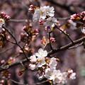 写真: 染井吉野も咲き始め~
