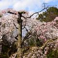 写真: 近衛池脇の糸桜(イトザクラ)