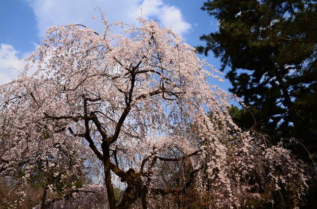 写真: 近衛邸跡の糸桜(イトザクラ)