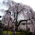 写真: 皇宮警察署の枝垂れ桜