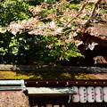 写真: 染井吉野もちらほら咲き