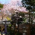 写真: 宗像神社の小彼岸(コヒガン)