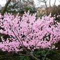 写真: 鴨川公園の桜
