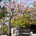 写真: ?壽桜