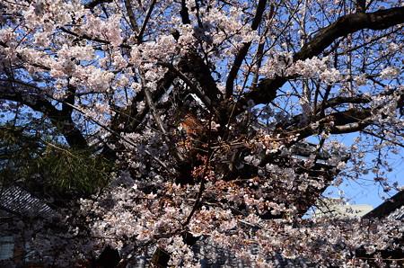 佛光寺の染井吉野(ソメイヨシノ)