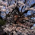 写真: 佛光寺の染井吉野(ソメイヨシノ)