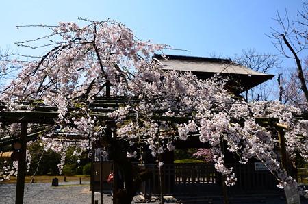 枝垂れ桜と傍花閣