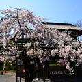 写真: 枝垂れ桜と傍花閣