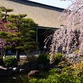 写真: 三十三間堂の桜風景