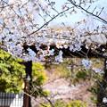 写真: 染井吉野のお見送り