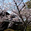 写真: 染井吉野(ソメイヨシノ)