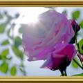 写真: 新緑と薔薇
