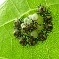 キマダラカメムシ幼虫_5029
