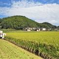 稲刈り_9779