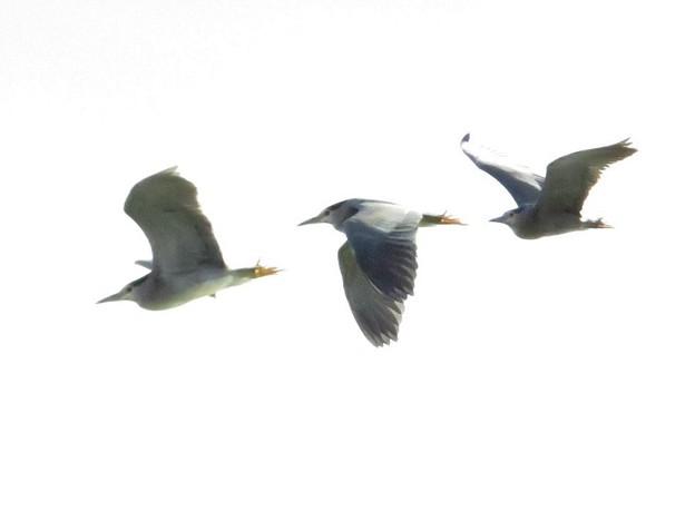 ゴイサギ飛翔姿3枚組