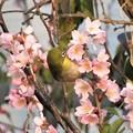 彼岸桜メジロ_0591