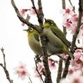 彼岸桜メジロ_0777