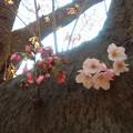 Photos: 桜s