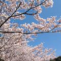 石観世音の桜